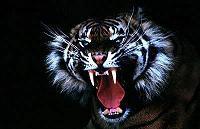Jutsu-Tiger-Roar