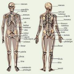 misc-Skeleton-chart
